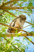 A fledgling Great Horned Owl sits in a willow tree in Jackson Hole, Wyoming.