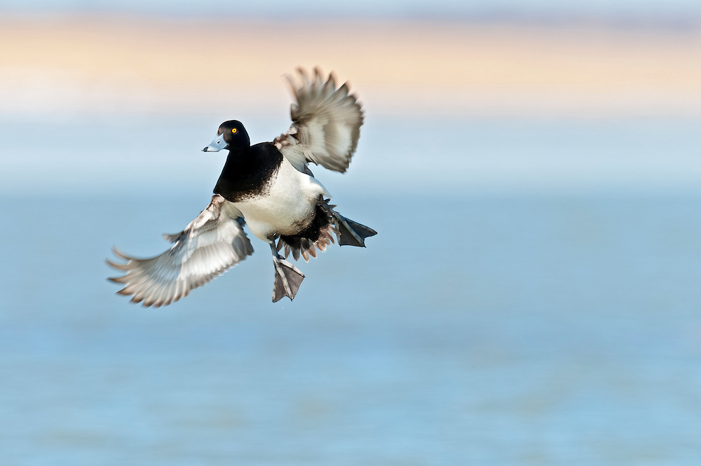 Lesser Scaup, Aythya affinis, male, Saginaw Bay, Michigan