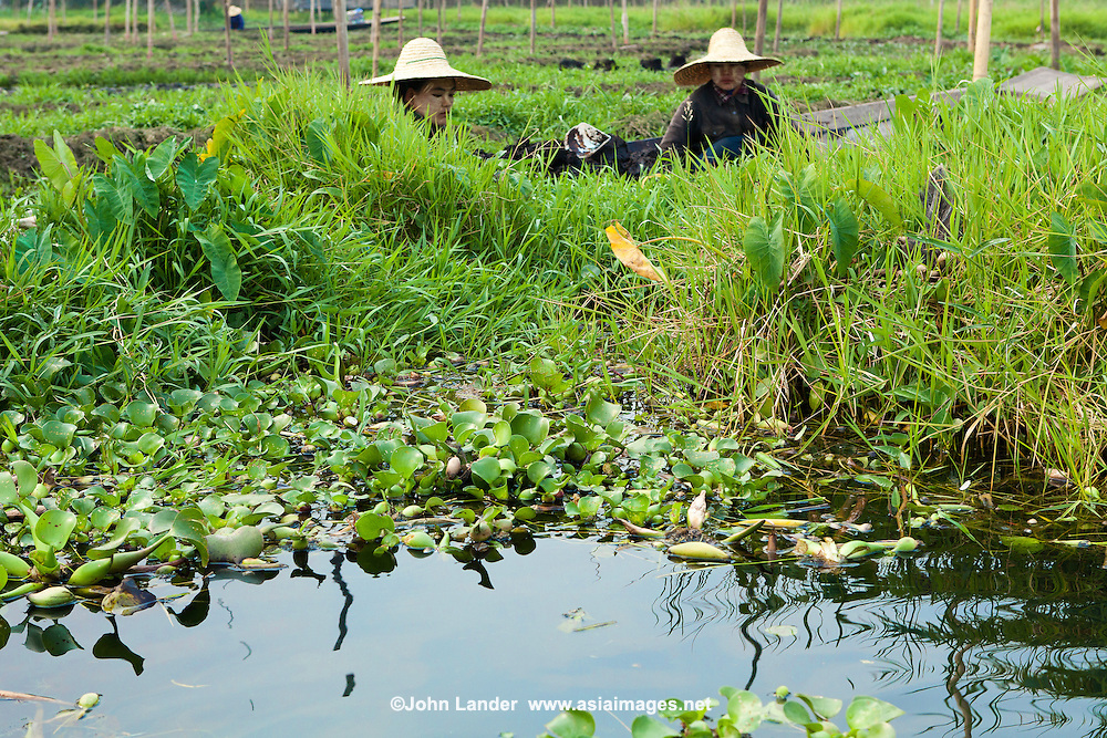 Near the village of Nampan is the floating gardens of Inle Lake.  Here Intha farmers grow flowers, tomatos, and other fruit and vegetables on long trellises supported by floating barges of vegetation.  These farmers paddle up and down between the rows and tend their crops.