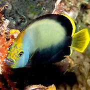 Black Velvet Angelfish inhabit inhabit reefs; picture taken Raja Ampat, Indonesia.