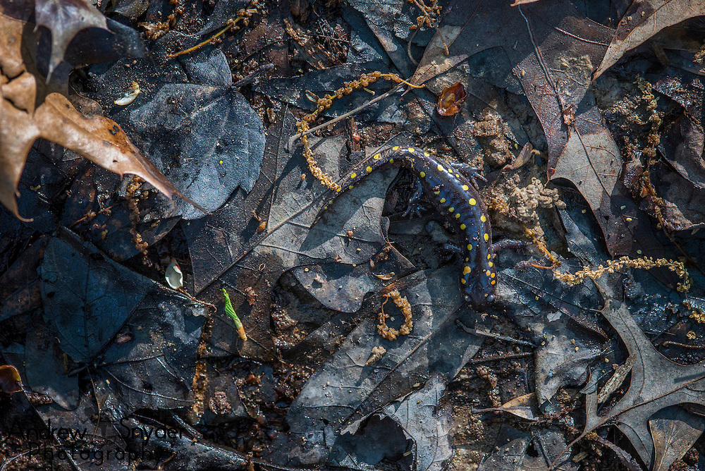 A spotted salamander (Ambystoma maculatum) sits in the leaf litter on the forest floor - Water Valley, Mississippi