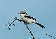 Great grey Shrike Lanius excubitor. Shrikes are well-marked, bold predators that have an allure far beyond what might be expected for birds of their size. Sightings are infrequent nowadays and consequently it is a red letter day for any birdwatcher if they see one. Two species occur reasonably regularly in the region. The Great grey Shrike Lanius excubitor (L 22-26cm), a winter visitor here in small numbers, is an altogether more imposing bird with fiercely predatory habits. It has a grey cap and back, white underparts, a broad black mask through the eye, and a white patch on the otherwise dark wings. Look for on expanses of heathland and the New Forest in Hampshire is the most reliable spot in Britain.