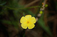 Pitted stripeseed wildflower photographed in the Big Cypress National Preserve.