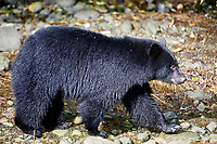 Black Bear (Ursus americanus) in salmon stream during salmon run,,  Thornton Fish Hatchery, Ucluelet , British Columbia, Canada