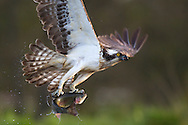 Osprey (pandion haliaetus) fishing, Cairngorms National Park, Scotland.