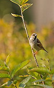 Male house sparrow (Passer domesticus) perched on a branch Photographed in Israel in February