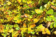Autumn beech leaves on rural hedgerow in autumn in The Cotswolds, UK