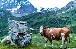 THEMENBILD - eine Kuh. Die bewirtschaftete Alm, wo rund 800 Schafe und 55 Milchkühe im Sommer sind, besteht seit dem Jahre 1779 und wird von der Familie Aberger Dick geführt, Sie liegt unmittelbar bei den Kapruner Hochgebirgsstauseen, aufgenommen am 15. Juni 2017, Fürthermoar Alm, Kaprun, Österreich // a Cow. The Fuerthermoar Alm, where around 800 sheep and 55 dairy cows are in summer and is directly next to the Kaprun Hochgebirgsausauseen. The Mountain Hut exists since 1779 and is owned by the family Aberger Dick, taken on 2017/06/15, Kaprun, Austria. EXPA Pictures © 2017, PhotoCredit: EXPA/ JFK
