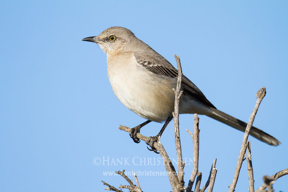 A northern mockingbird perches on a small branch