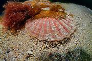 King scallop (Pecten maximus)