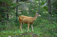 Mule Deer (Odocoileus hemionus), Spray Lakes Road, Nr. Canmore, Alberta, Canada   Photo: Peter Llewellyn