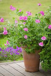 Pelargonium 'Pink Capitatum' (Pink capricorn) in a terracotta pot