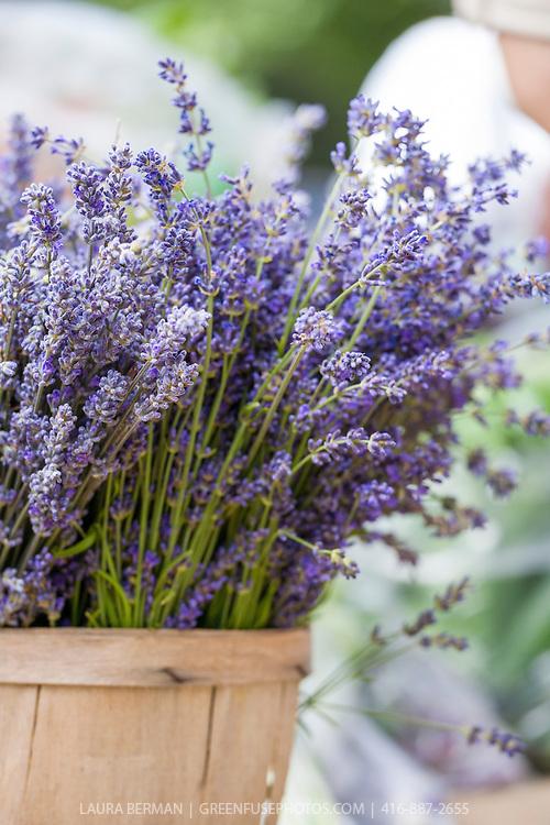 Baskets of English Lavender at a farmers market. (Lavandula angustifolia (syn. L. officinalis).