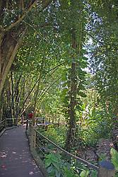 Entry walk into the Hawaiian Tropical Botanial Garden takes visitors down through dense foliage toward Onomea Bay.
