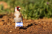 European Goldfinch, (Carduelis carduelis) This bird feeds on the seeds of gorse plants and thistles. Israel, April