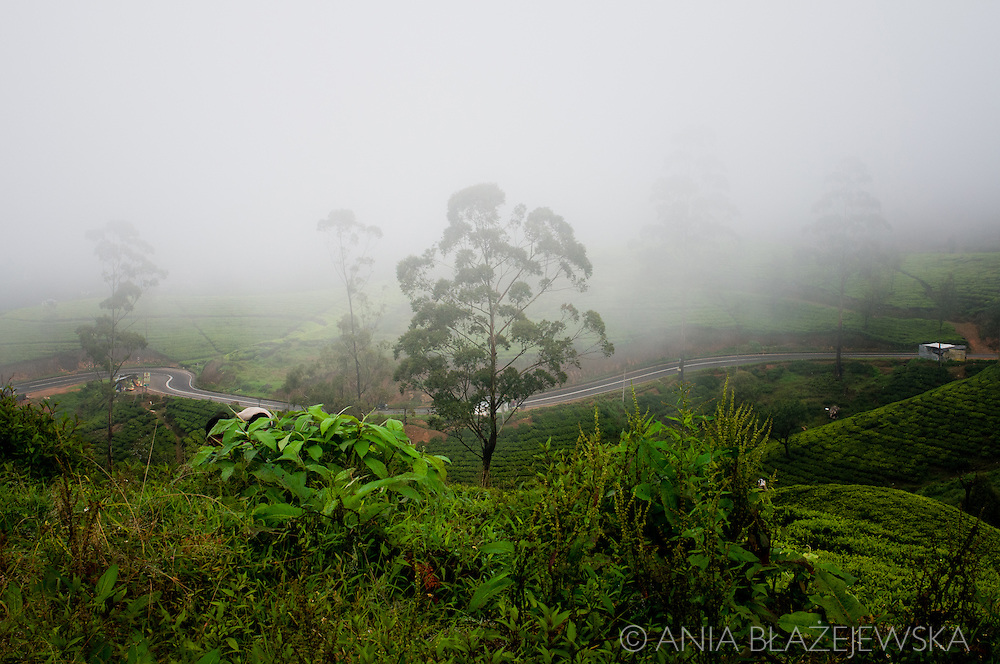 Sri Lanka, Nuwara Eliya. Misty morning on the tea plantations.