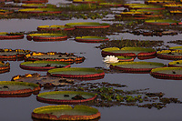 Giant lily pads and lotus flower in the Pantanal region of Brazil.