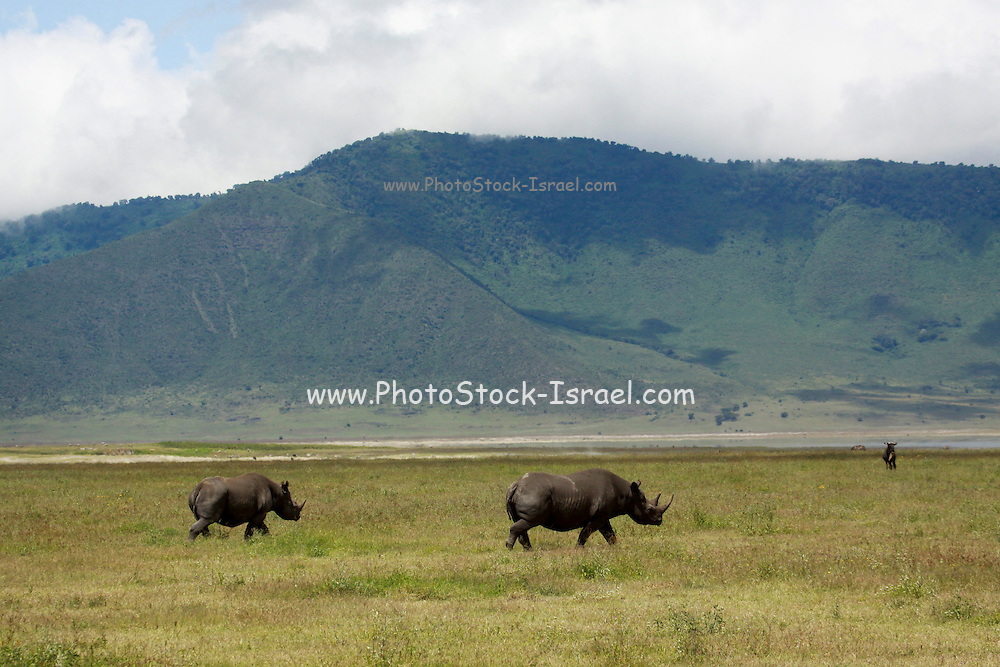 Tanzania, Serengeti National Rhinoceros, side view,