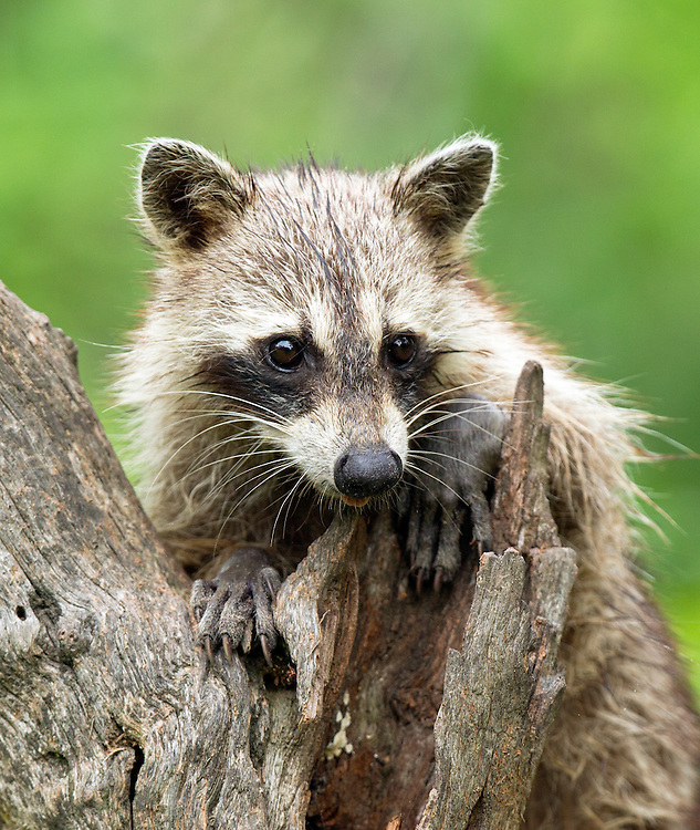 Northern Raccoon, Procyon lotor;<br />