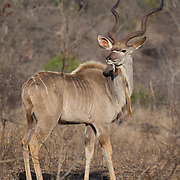 Kudu. Between Sabie River Camp and Skukuza Camp. Kruger National Park, South Africa.