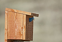 A male Mountain Bluebird looks out of its nesting box for its mate so they can trade places for a while.