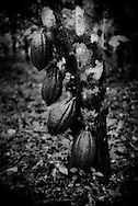 Cacao, the main ingredient for chocolate, is the main cash crop grown by small farmers in the Herakles Farms project area.  Near Ayong, Cameroon.  Many towering rainforest trees are left standing over the farms to shade the cacao trees, as they thrive in filtered sunlight, decreasing the impact on the local forest.  Farmers also grow cassava, bananas, squash and maize (corn) for subsistence.  Oil palm is grown locally and processed on a artisanal basis to supply the local market.