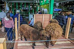 Oficina de Ovinocultura durante a 38ª Expointer, que ocorre entre 29 de agosto e 06 de setembro de 2015 no Parque de Exposições Assis Brasil, em Esteio. FOTO: André Feltes/ Agência Preview