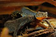 Alpine Newt (Triturus alpestris) left: female right: male. Kiel, Germany | Beide Geschlechter des Bergmolches (Triturus alpestris) haben eine orangene Körperunterseite, die Oberseite ist jedoch beim Männchen prächtiger gefärbt und von einem Hautsaum gekrönt.