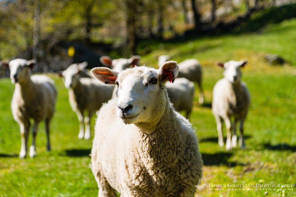 Norway, Sokndal, Løtoft. Domestic sheep.