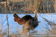 Eastern Wild Turkey Displaying in Early Spring, Snowy Habitat
