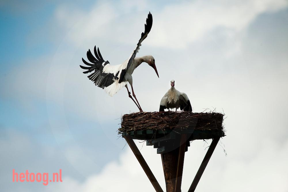Precies op de grens tussen Overijssel en Drente ligt het Reestdal. De beek de Reest meandert over een lengte van 37 kilometer door het landschap. In het natuurreservaat &quot;De Wildenberg&quot; ligt de gelijknamige boerderij.<br /> Ooievaars keren hier ieder jaar terug om te paren, het levert een prachtig schouwspel op van veroveren en verdedigen. Het mannetje bezet een nest en wacht op zijn partner terwijl hij andere mannetjes weg jaagt. Als er uiteindelijk een een keuze gemaakt is volgt de paring.