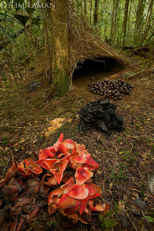 Bower of the Vogelkopf Bowerbird (Amblyornis inornatus) decorated with piles of acorns, black fungi, and pandanus flowers.