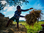 "21 NOVEMBER 2017 - MAUBIN, AYEYARWADY REGION, MYANMAR: A teenager throws a bundle of harvested rice to a threshing machine in a rice paddy in the Ayeyarwady  Delta. Myanmar is the world's sixth largest rice producer and more than half of Myanmar's arable land is used for rice cultivation. The Ayeyarwady Delta is the most important rice growing region and is sometimes called ""Myanmar's Granary."" The UN Food and Agriculture Organization (FAO) is predicting that the 2017 harvest will increase over 2016 and that exports will surge to 1.8 million tonnes.   PHOTO BY JACK KURTZ"