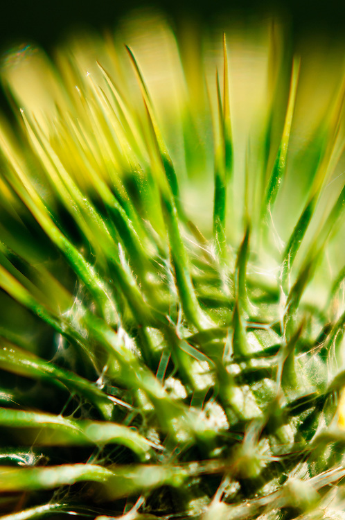 Close-up stock photograph of the green thorns of a Scotch Thistle (Onopordum sp.)