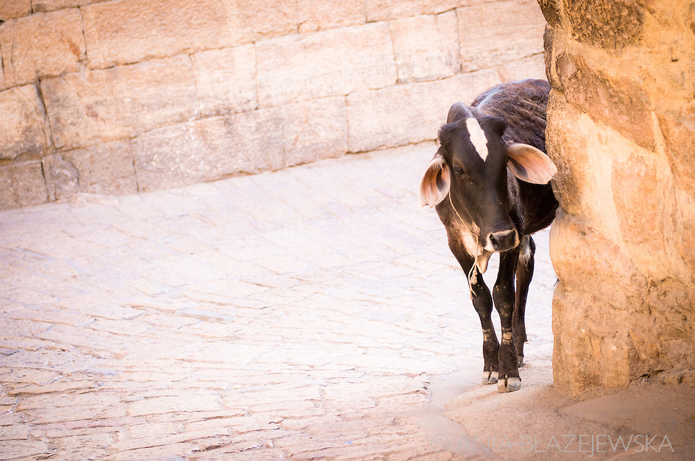 India, Jaisalmer. A cow walking inside the fort.