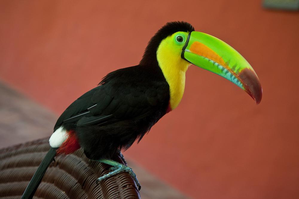 Keel-billed toucan (Ramphastos sulfuratus), side view. Cartagena de Indias, Colombia.