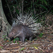 The Malayan porcupine or Himalayan porcupine (Hystrix brachyura) is a species of rodent in the family Hystricidae. It is one of the most commonly found larger mammals in Thai forests.