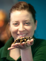 ©London News Picures. A .A Zoo keeper holds a Tranchilla spider  before making a record of their numbers at London Zoo as part of the zoo's annual stocktake on January 4, 2011 in London, England. ZSL London Zoo is home to over 650 different species which all need to be cataloged in their annual stocktake which is a compulsory requirement for their zoo license..Photo credit should read Fuat Akyuz/London News Pictures.