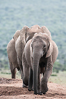 African Elephant Herd,  Addo Elephant National Park, Eastern Cape, South Africa