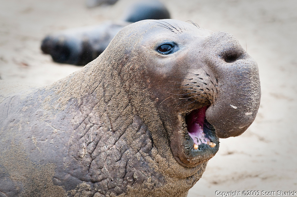 A male elephant seal with open mouth at Ana Nuevo State Park in California.