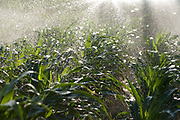 Corn on Red Rocks Ranch in Fresno County is irrigated using a center pivot overhead irrigation system, which saves both labor and water usage. The system, which is controlled by computer, improves uniformity and reduces evaporation.
