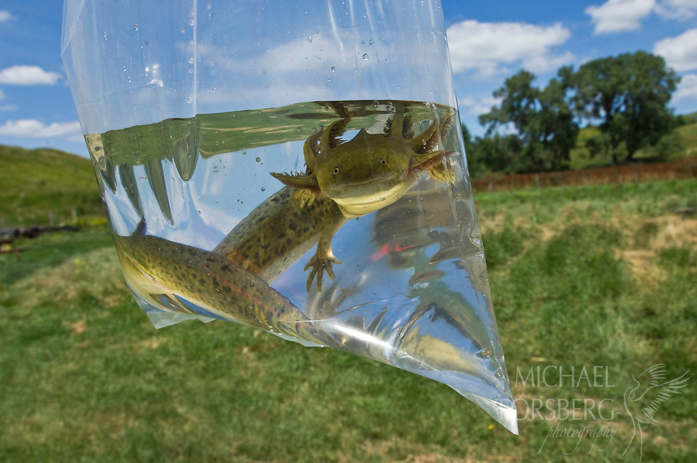 Tiger Salamander in plastic bag.<br />