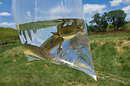 Tiger Salamander in plastic bag.<br />Loess Hills, Iowa. Tallgrass region.<br />Broken Kettle Preserve (TNC)<br /><br />Prairie rattlesnake and tiger salamander research. <br /><br />Dan Fogell (researcher) big guy, yellow hat, vest<br />Mike Graziano (biologist - Dan's intern) black hair, glasse<br />Anne Wilson (Dan's student) black tank top<br />Eric and Kathy Thiss (Lanesboro, MN) Eric orange shirt. Kathy white shirt with short brown hair.<br />Kids: <br />Libby - age 15 with pony tails and brown shirt<br />Linnea - age 13 brown pants white/pink shirt<br />Evan - age 8 red shirt<br /><br />Scott Moats: (Broken Kettle preserve manage) Big, sunglasses, ballcap, white shirt with fire printed on it<br /><br />Prairie rattlesnakes: Gravid females<br />Tiger salamanders: Peudomorphs (sp?) underwater stage. Breath air and breath oxygen through water-gills.<br />Racer- (NEEDID on this snake)<br />Horn worm caterpillar (NEEDID)