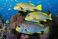 Sweetlips hold in the current at a cleaning station<br /> <br /> Shot in Indonesia