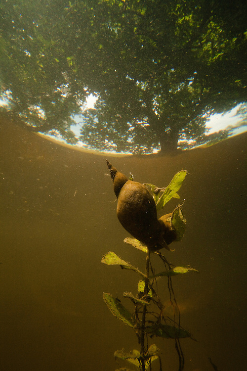 Great pond snail ( Lymnaea stagnalis) trying to survive in ponds in hard wood forest during low-tide, Gornje Podunavlje Special Nature Reserve, Serbia