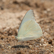 The Common Albatross Butterfly,  Appias albina.  Saletara liberia distanti (The Malaysian Albatross). Both male and female were seen togther. In Chaloem Phrakiat Thai Prachan National Park, Thailand.