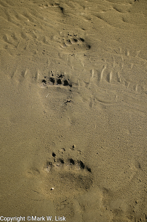 Signs of Grizzley bear in the mud and along trees in the Alsek Range in Brittish Columbia, Canada.