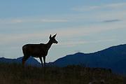 Silhouetted mule deer, Montana