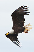 An adult Bald Eagle (Haliaeetus leucocephalus) flies at Big Beef Creek near the Hood Canal of Puget Sound, Washington, USA