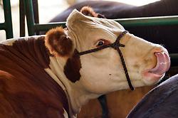 McLean County Fair - cow